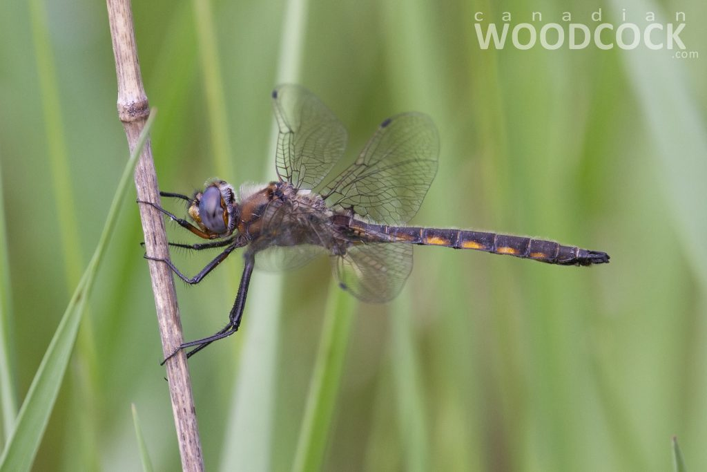 beaverpond baskettail