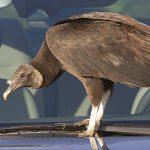 black vulture on car