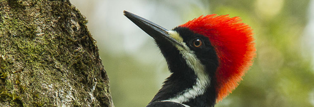 powerful woodpecker