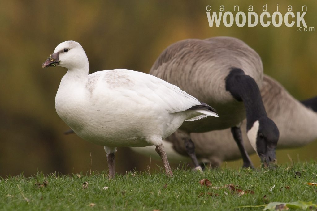 potential ross's goose
