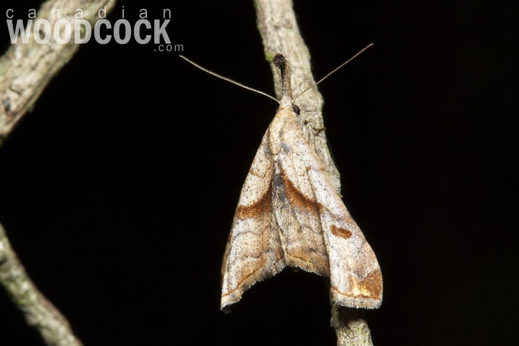 dark-spotted palthis moth