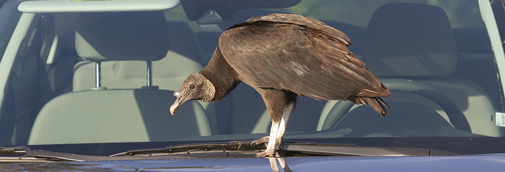 black vulture on car